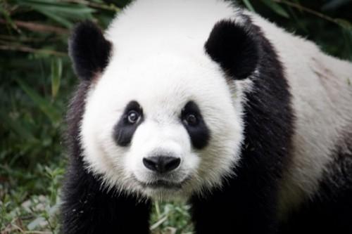 Рацион панды3