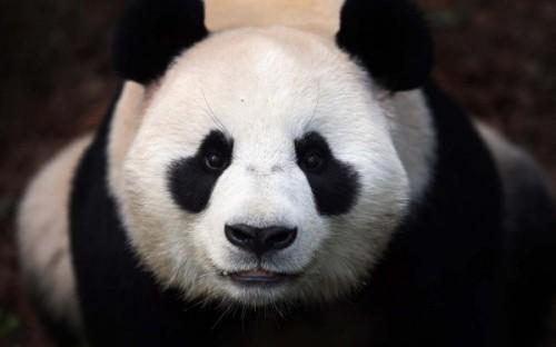 Рацион панды4,