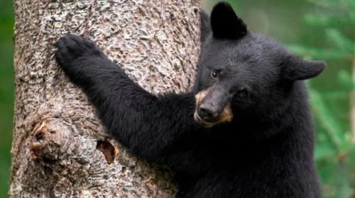 Черные медведи2
