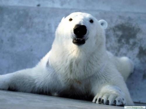 Белые медведи – снежные короли полярного круга2