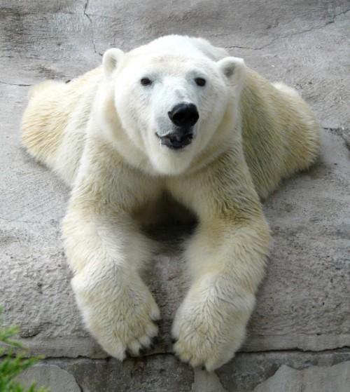 Все самое интересное о полярных медведях