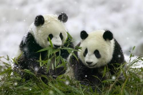Интересные факты о пандах2