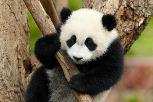 Интересные факты о пандах4