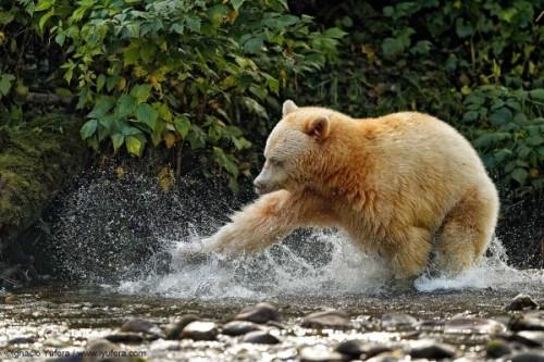 Кермодский медведь-призрак