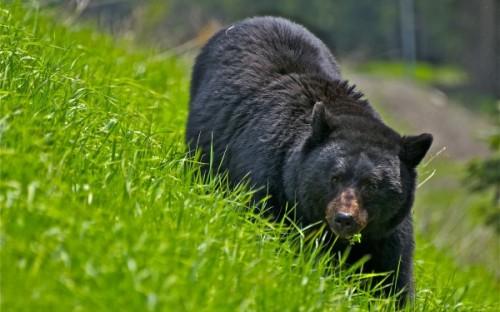 Медведи в Подмосковье 2