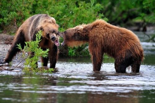Медведь с острова Кадьяк4