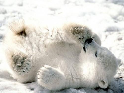 Полярный медведь – русский медведь.