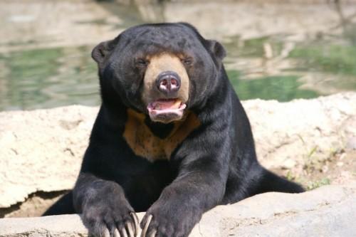 Солнечный медведь из Малайзии