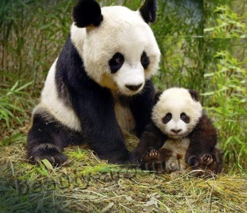 Такие милые плюшевые панды.