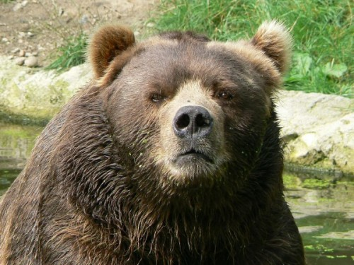 Медведи, кто они?