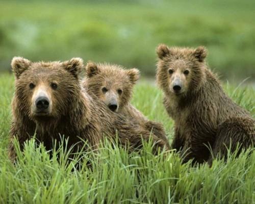 Медведи, кто они?4