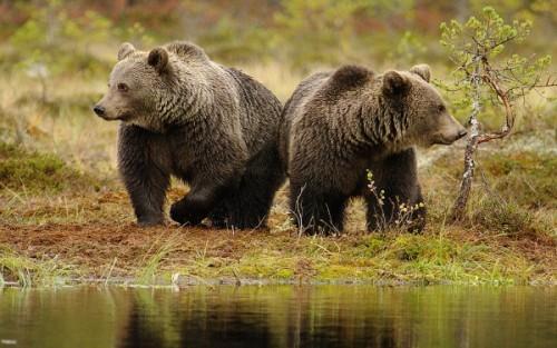 Общие сведения о медведях.4