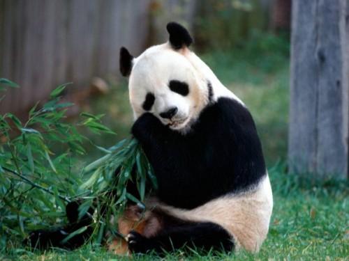Повадки и среда обитания большой панды