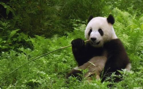 Повадки и среда обитания большой панды3