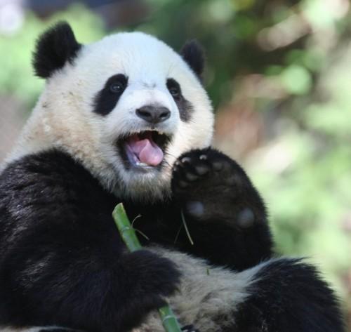 Повадки и среда обитания большой панды4