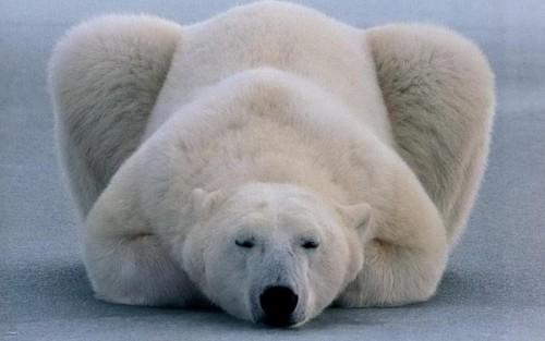 Интересные особенности жизни полярного медведя 2