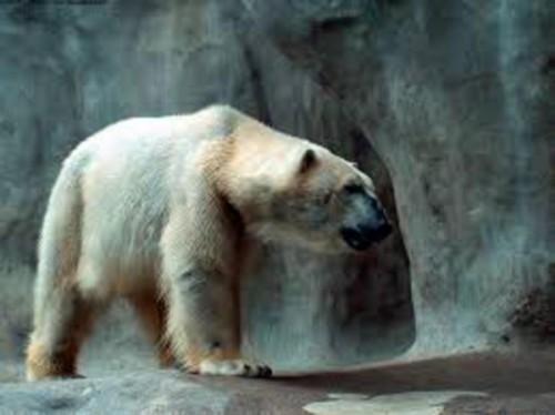 Интересные особенности жизни полярного медведя 3