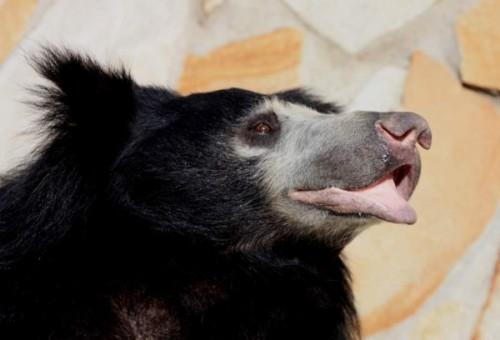 Медведь-губач