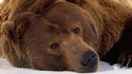 Медведь – один из символов России для иностранцев3