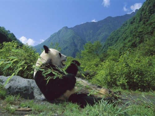 Панда – бамбуковый медведь