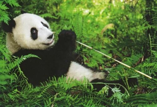Панда – бамбуковый медведь2