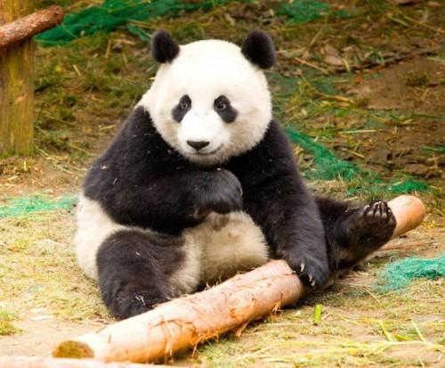 Большая Панда4