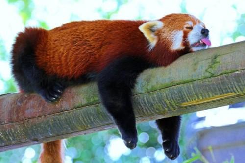 Красная панда 3