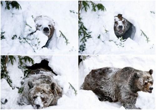 медведь в спячке 1