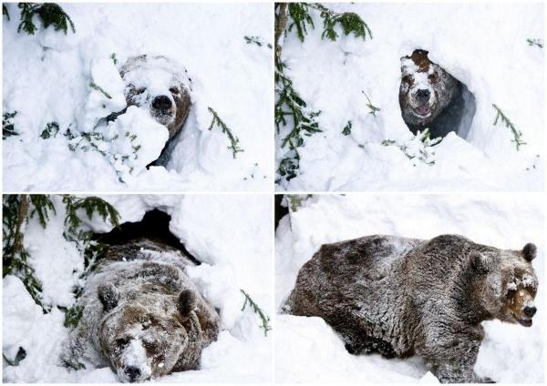 Почему после спячки медведи орут